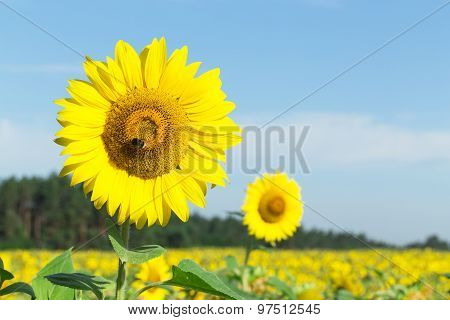 Sunflower With Bee Lit By The Sun.