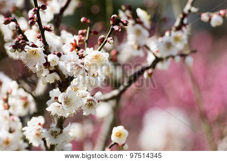 Close up white chinese plum