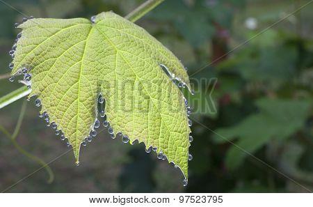 Wet Grape Vine