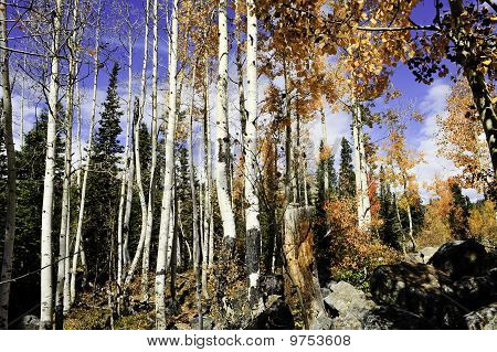 Aspen Grove In The Rocky Mountains