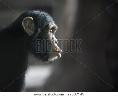 Surprised Chimpanzee