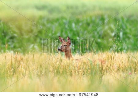 Roe Deer Doe In Wheat Field