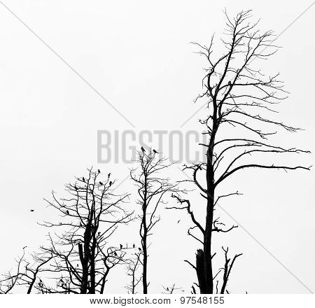 Dead Pine Trees Against Sky Background. Juodkrante, Lithuania