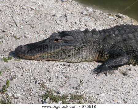 Alligator In The Sun