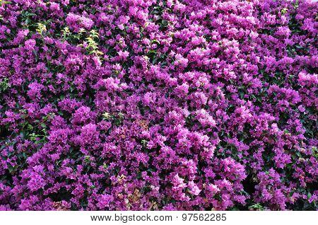 Violet flowering bushes of bougainvillea