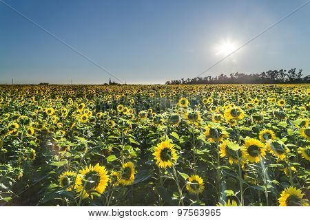 Sunflowers At Sunny Day. The Sun Above The Horizon.