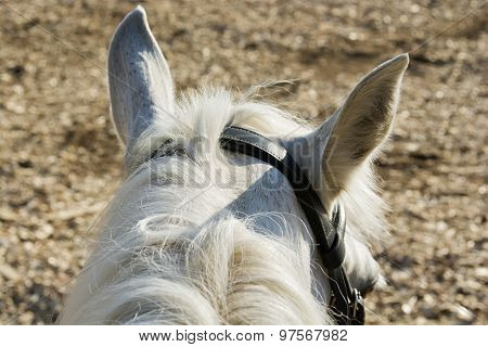 Horse White Close