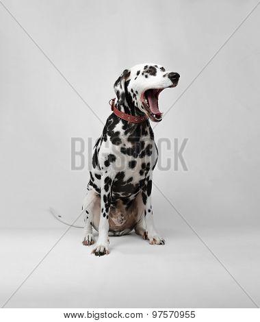 Dalmatian Dog Sitting And Yawns