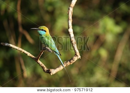 Green Bee Eater on a perch