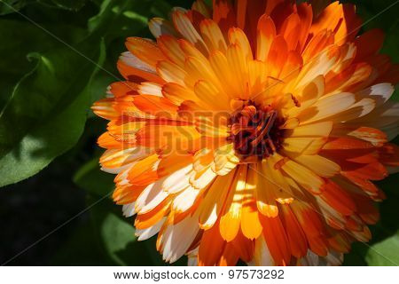 Pot Marigold - Calendula Officinalis