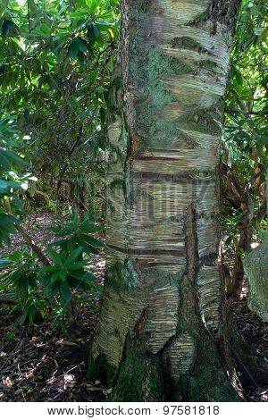 Betula Ermanii, Gold Birch