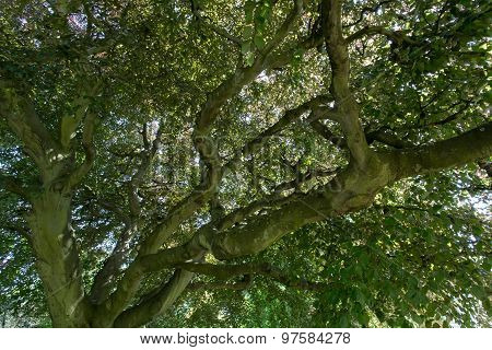 Large Old Beech Tree In A Park