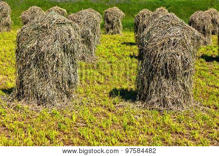 Fresh Smelling Grass Is Stapled For Drying