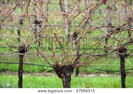 Head Of The Vine
