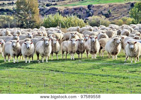 We are NZ sheep