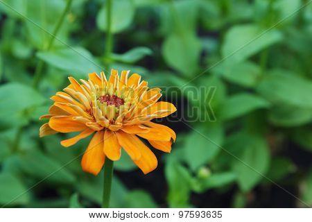 Yellow Zinnia Flowers