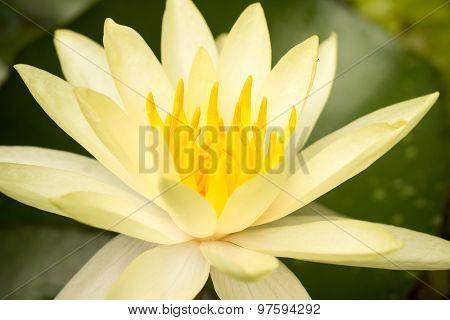 Beige  Lotus