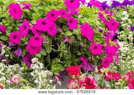 Magenta Pink Petunia And Rose