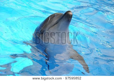 Bottlenose Dolphin In Blue Water