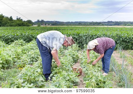 Peasants In Yellow Bean Field