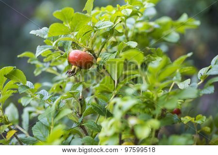 Wild Rose Fruits On Branch