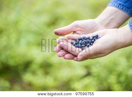 Women Hands Picking Wild Blueberries.