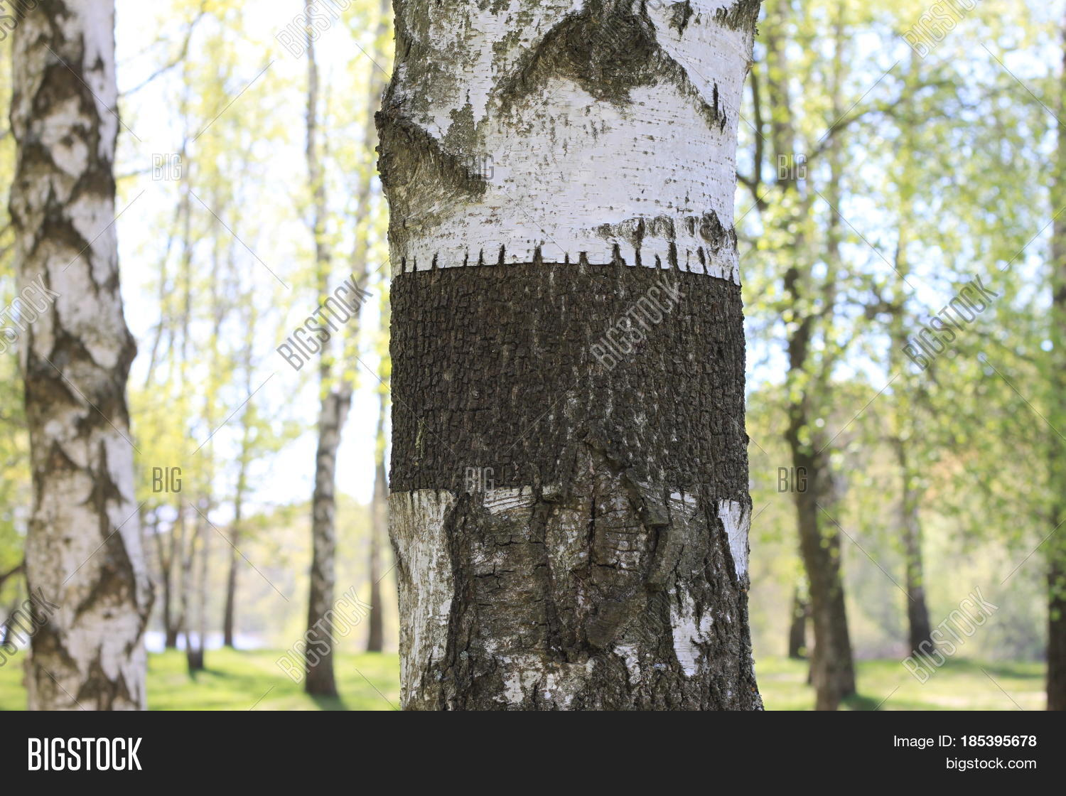 Trunk of birch tree with black-and-white birch bark close-up in