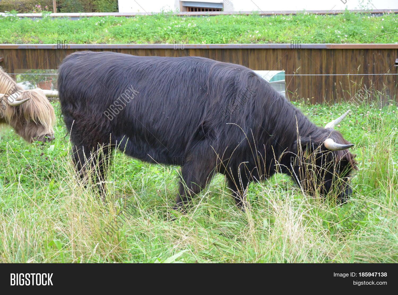 Herd Scottish Highland Cattle Image & Photo | Bigstock