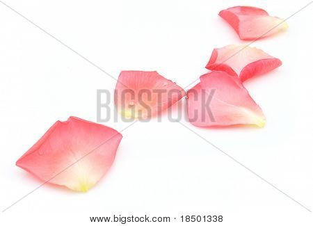 Rose petals on a white background
