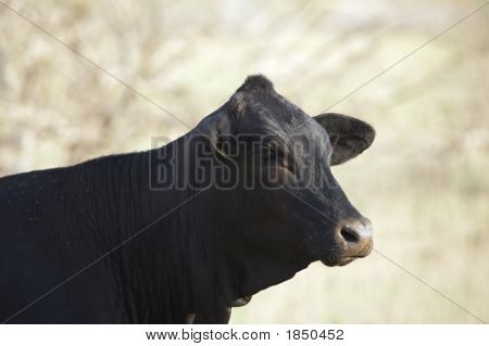 Black Cow