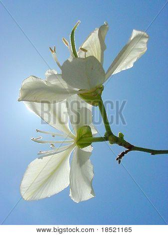 Flor de la orquídea árbol