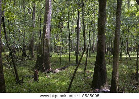 floresta da madeira na carolina do Sul
