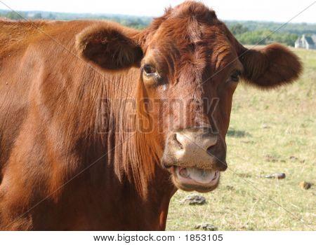 Gossipy Cow