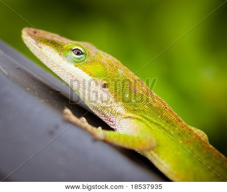 Close up portrait of green Carolina anole lizard.