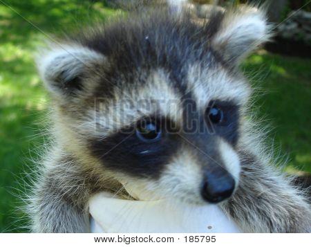Puzzled Raccoon