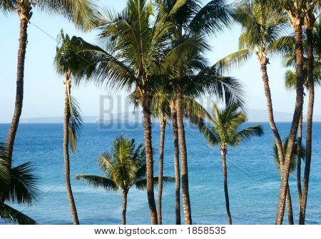 Hawaii Palms