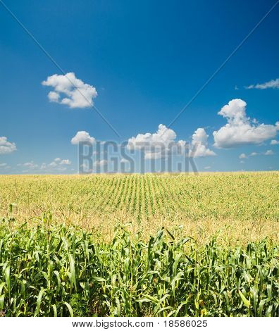 field with corn under blue sky and clouds