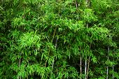 image of bamboo forest  - bamboo background - JPG