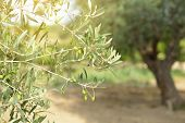 Olives branch with olive tree on background. Olive tree in Italy, harvesting time, sunset. Olive tr poster