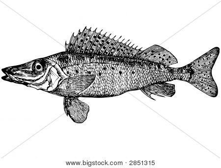 Fish Ruff Acerina Acerina (Latin) Illustration.