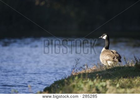 Canadian Goose On Watch