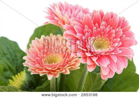 Drei Gerber-Blumen