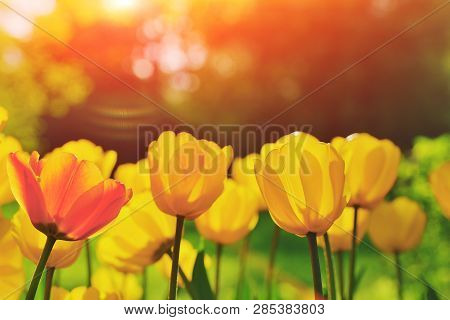 Group Of Colorful Tulip Red