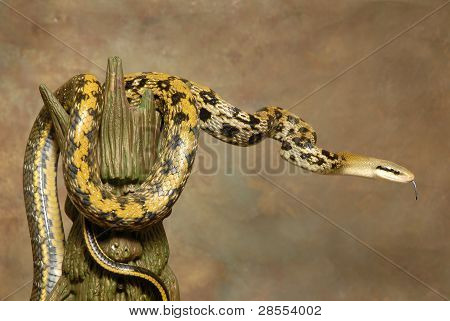 A Taiwan Beauty Rat Snake