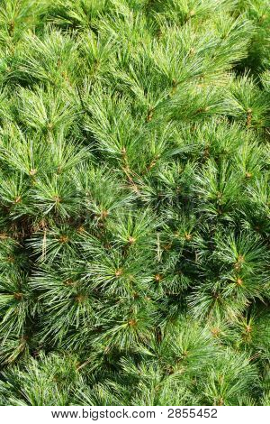Conifer Branch (Fir, Pine) Background