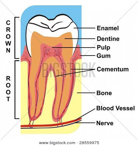 Cross-Section of Tooth (Crown & Root) --- including the parts (enamel, dentine, pulp, gum, cementum, bone, blood vessel, nerve) --- for Education Purpose & Clinics