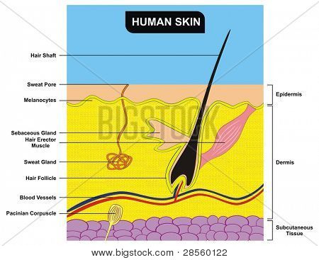 VECTOR - Human Skin Cross-Section