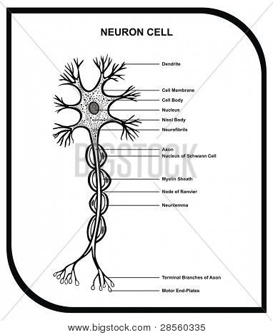 Human Neuron Cell - Including Cell Parts ( dendrite, nucleus, myelin sheath, axon, body, membrane, terminal branches, motor end ... ) - Useful for Education