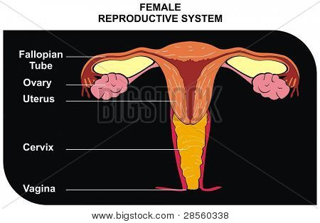 Female Reproductive System - including ( fallopian tube, ovary, uterus, cervix, vagina ) - Useful for Education in Schools and Clinics