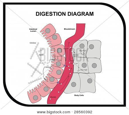 Digestion Diagram - Abdominal Tissue - Medical and Educational